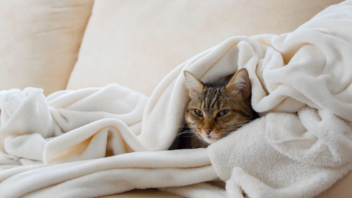 cat in a blanket on a sofa