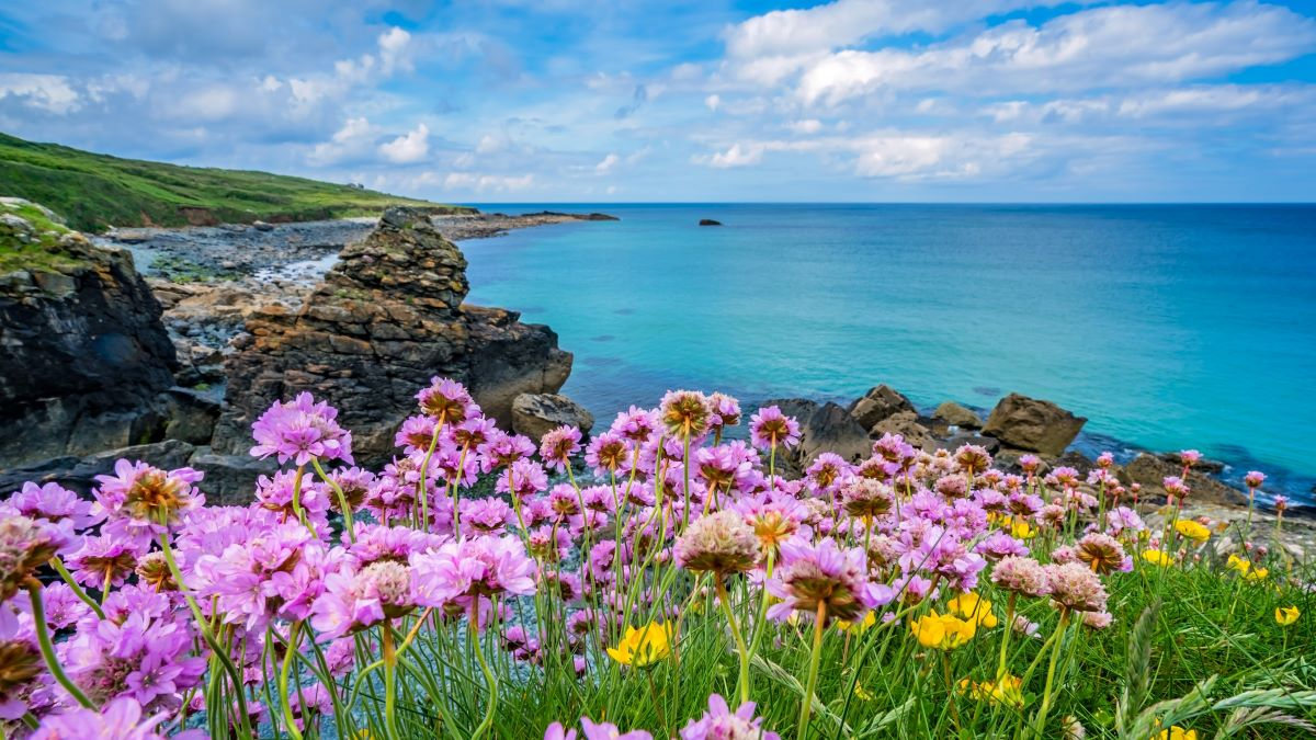 sea pinks on the Cornish coast