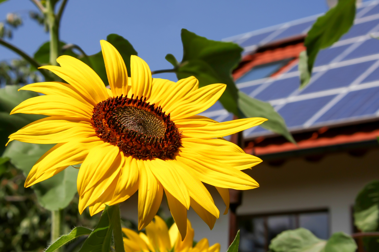 sunflower with solar panels on a house in the background